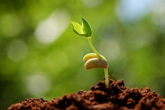 sprouting-seed-1-242x161